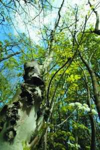 arbre mystere